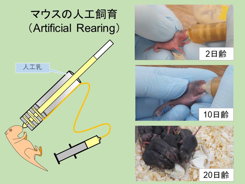 人工乳を用いて飼育することで新生児期における栄養素の有効性を調べることができます。