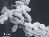 冷却塔のバイオフィルムから分離した新種、Roseomonas tokyonensis