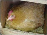 抱卵する名古屋種