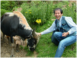 ブータンで飼育されているミタンと呼ばれる家畜です。家畜ウシとは異なる野生種から家畜化された動物です