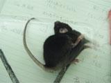 私たちの研究室で育成に成功した自発性のけいれん発作を起こすマウスです。ヒトの疾病を研究するためのモデルとして利用できます。
