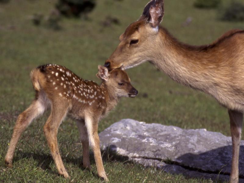金華山のシカを識別して行動を詳細に記述する